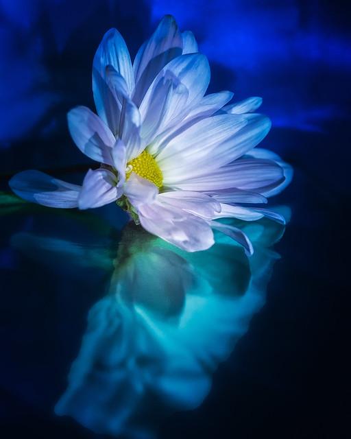 Daisy Blues 2