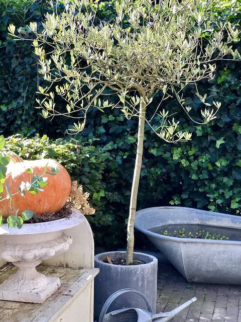 Franse vaas met pompoen olijfboom zinken teil en gieter