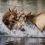Bull Elk Duel