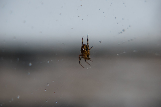 Garden spider, on web after heavy rain