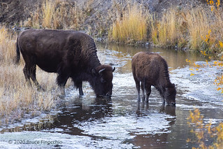 Female Bison Drinks With Her Calf From The Waters Of Soda Butte Creek | by brucefinocchio