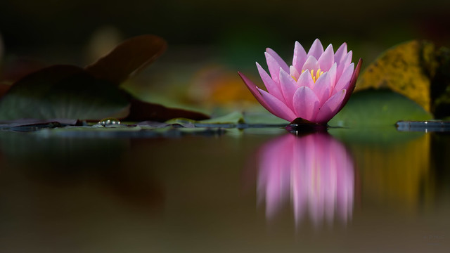 Water Lily  3111