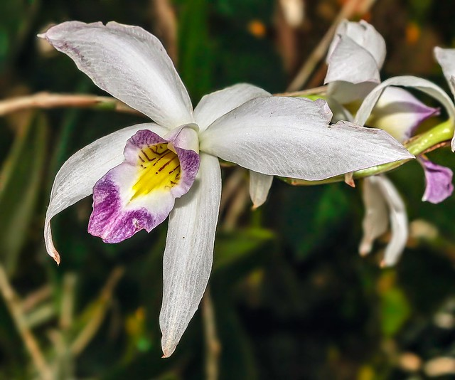 Laelia anceps ´Sanderiana´; Orchidaceae (1a)