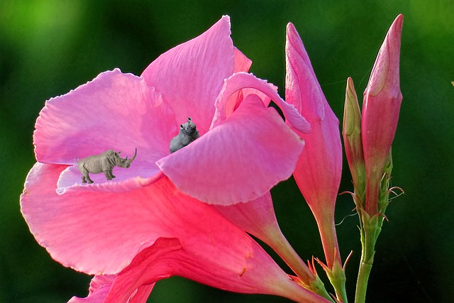 mandeville flower with rhinoceros beetles