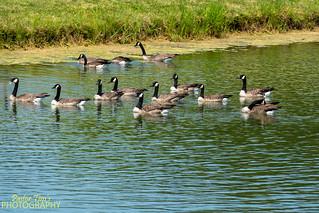 Geese on Lake  (8)