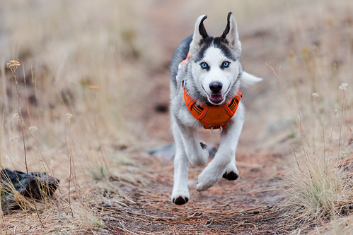 Trail Dog in training!