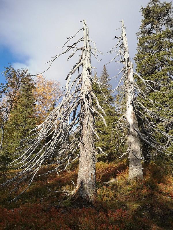 Riisitunturin puut