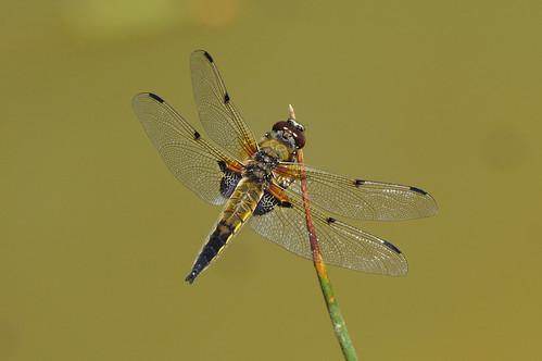 cambridgeshire libellulaquadrimaculata chaser dragonfly fourspotted insect nature wild wildlife monkswood