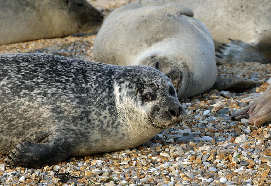 Common Seals (Phoca vitulina) - Blakeney Point, Norfolk.
