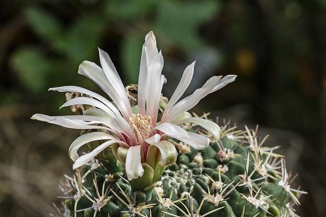 Gymnocalycium mostii ssp. valnicekianum 2711-1; Cactaceae (1)