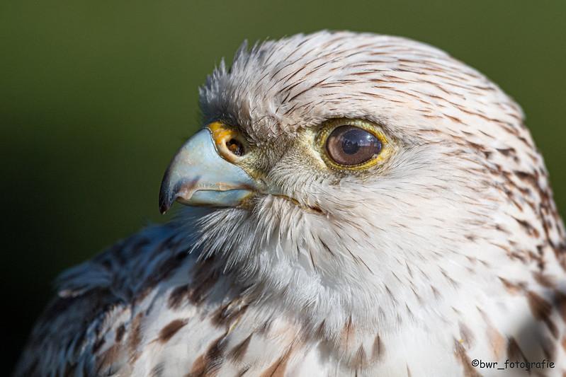 Junger Falke 1