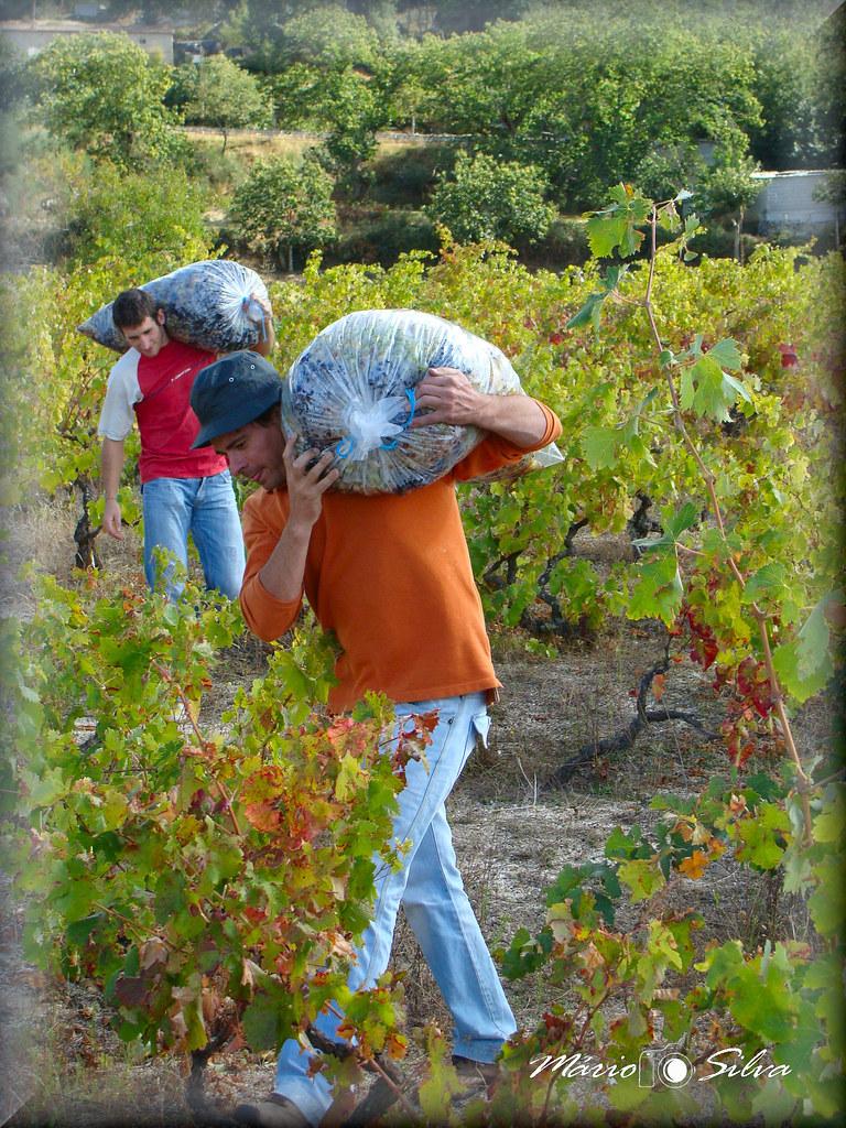 carregando sacos das uvas_ms