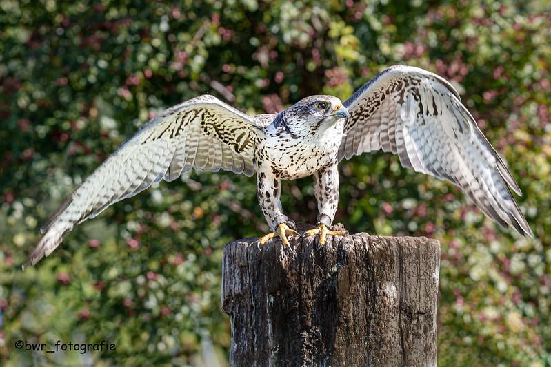 Junger Falke 2
