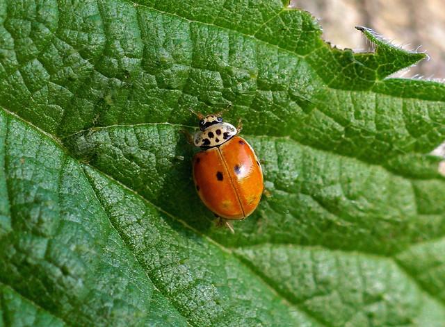 Ten-spot Ladybird --- Adalia decempunctata