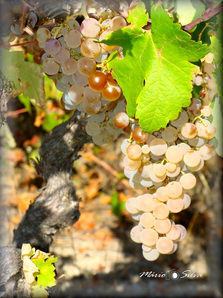 cacho de uvas_ms