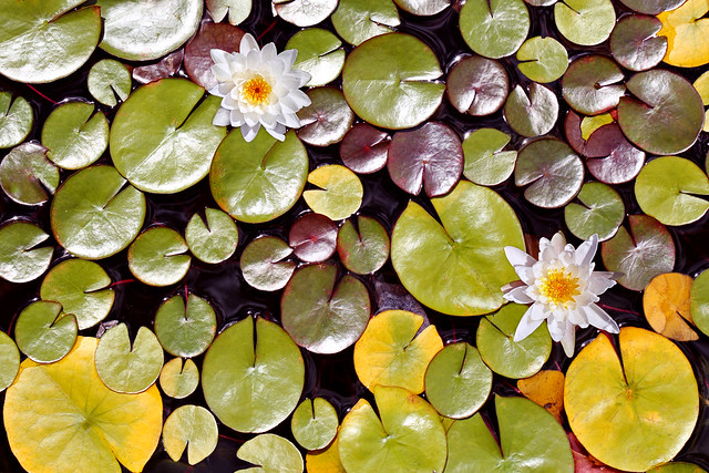 Water Lilies vs. Pac-Man :)