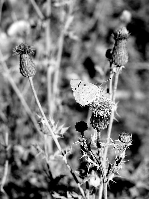 tövis és lepke / thorns and butterfly