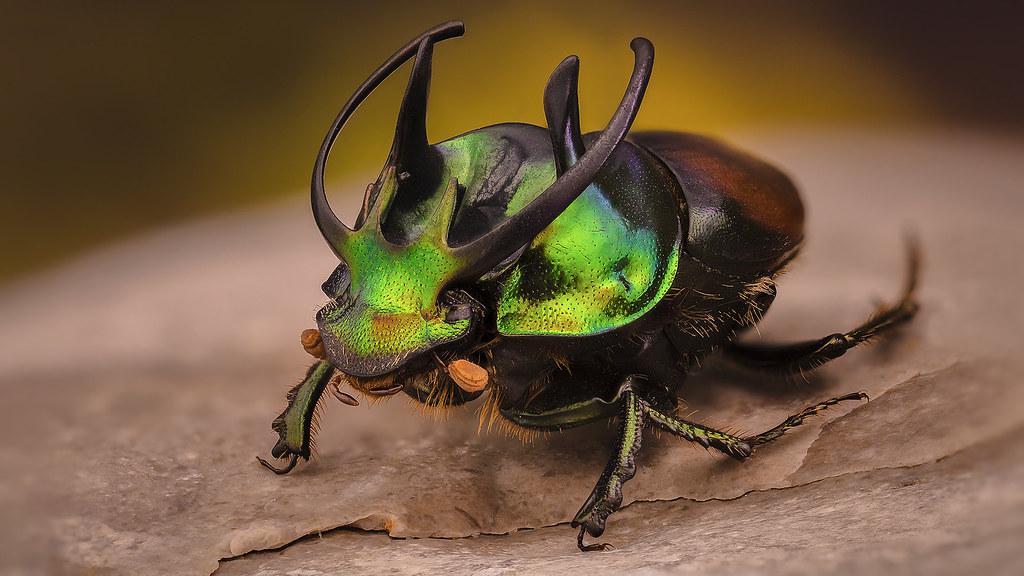 Proagoderus sexcornutus