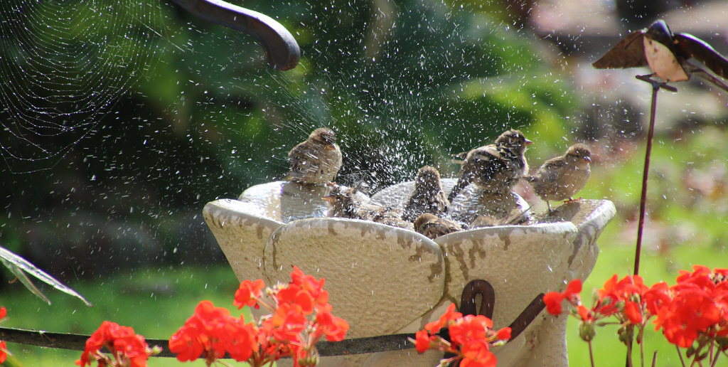 Birds cooling off, Hillview, UK.