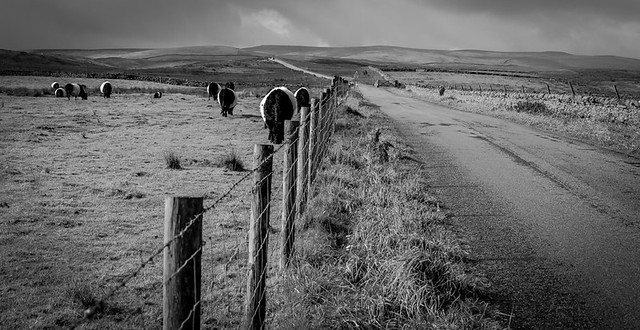 Belted Galloway Cattle 2 .