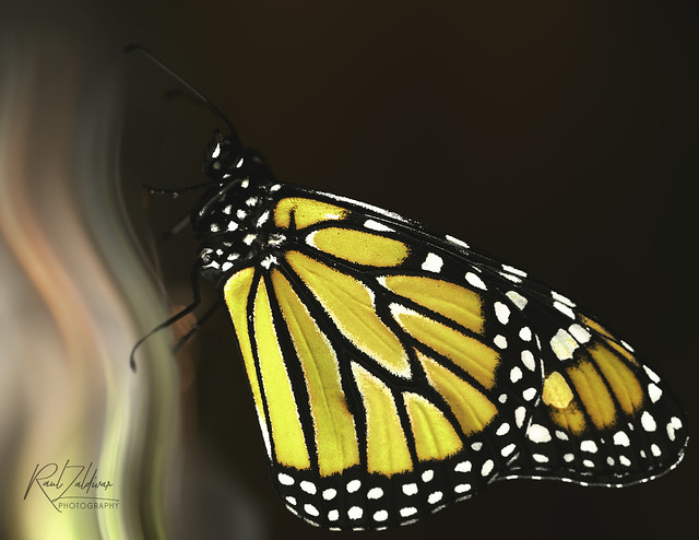 Holding on to a dream!! Monarch #3