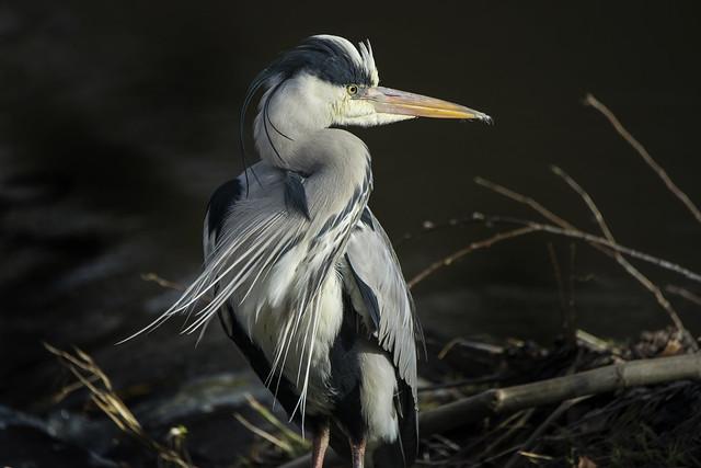 Handsome Heron!   Grey Heron on the Dodder
