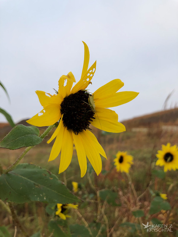 IMG_8933Sunflowers
