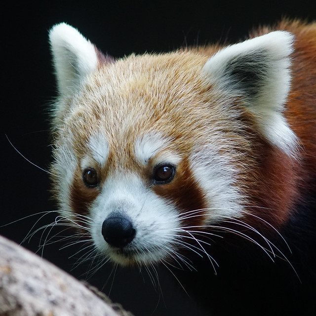 Tg Nbg               Red Panda               201001