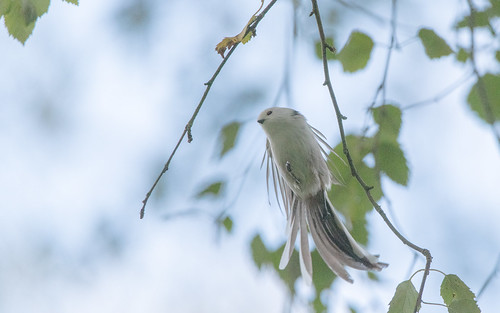 White-headed long-tailed tit - Aegithalos  caudatus caudatus - Witkopstaartmees