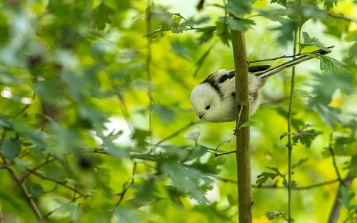 Northern long-tailed tit - Aegithalos  caudatus caudatus - Witkopstaartmees
