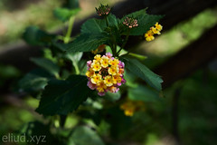 Yellow and pink Lantanas.