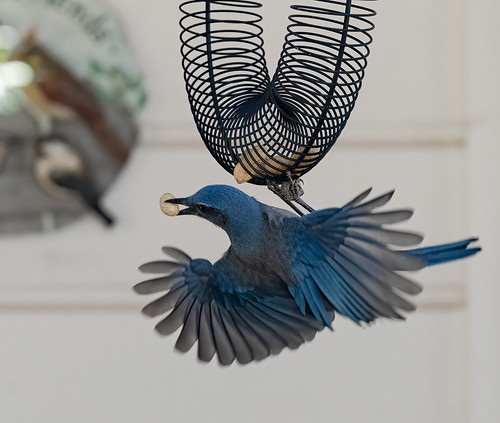 scrub_jay_feeder_20201011_137-Edit