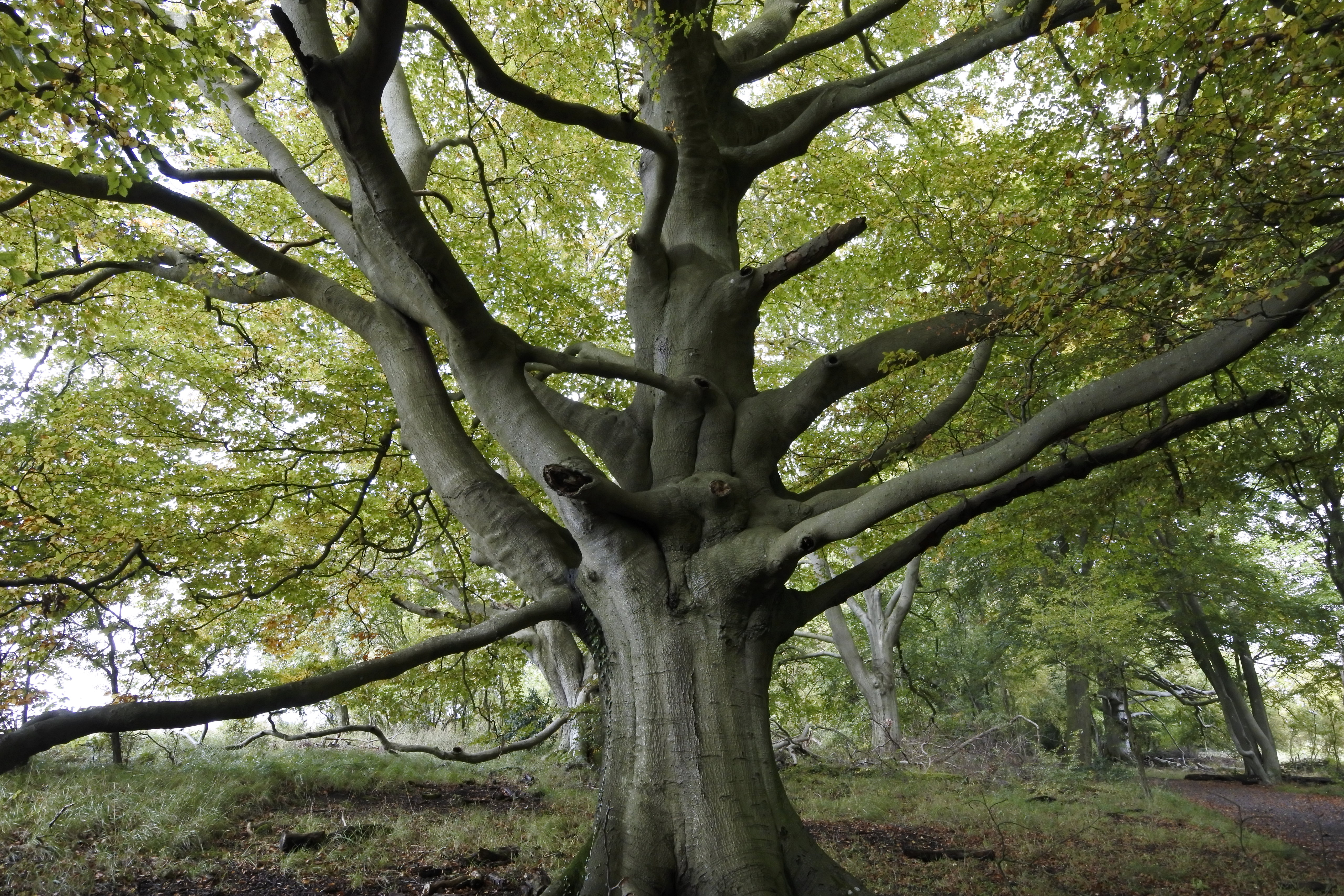 This tree is in Wytham Woods, Oxford