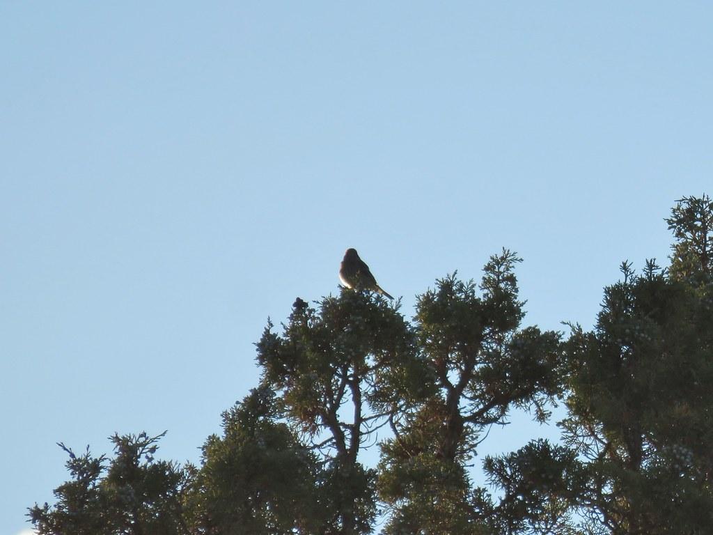 Bird atop a juniper