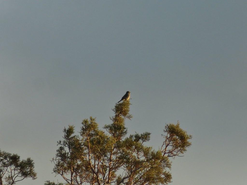 Songbird atop a juniper