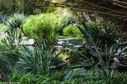 pond landscape plants flora botany papyrus water serene tranquil peaceful zajdowicz huntingtongardens sanmarino california usa travel nature color green colour canon dslr digital avaliablelight lightroom outdoor canoneos5dmarkiii ef50mmf12lusm primelens 50mm