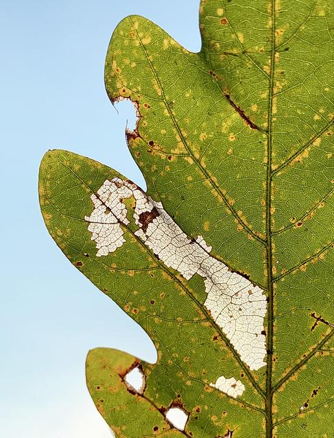 Oak leaf with translucent section