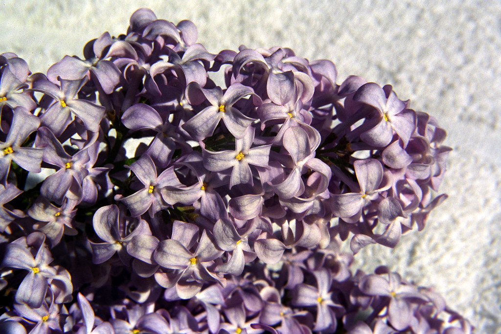 Lilac Cutting Detail