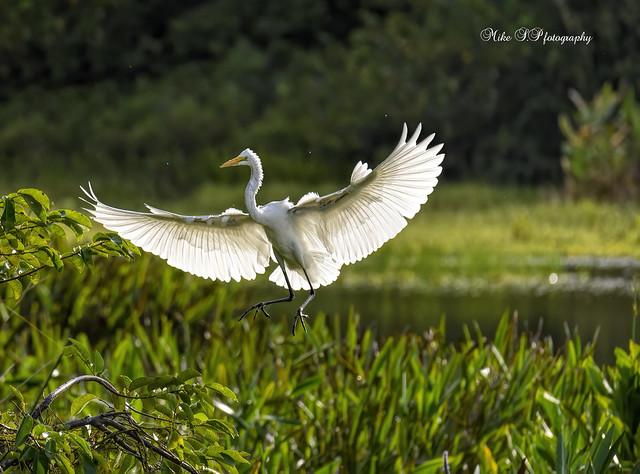 Great egret(flight)