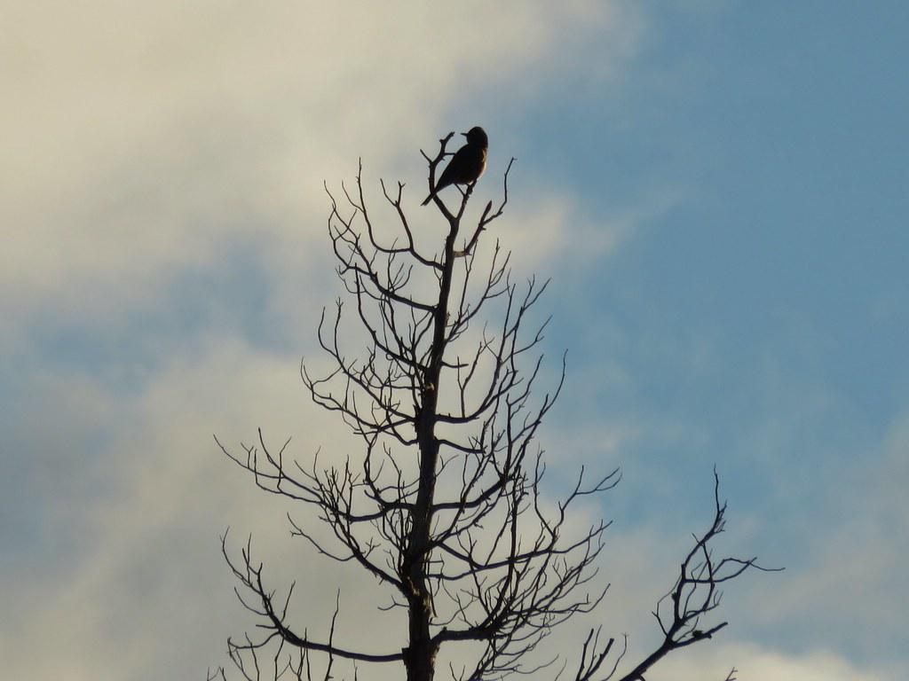 Bluebird atop a tree