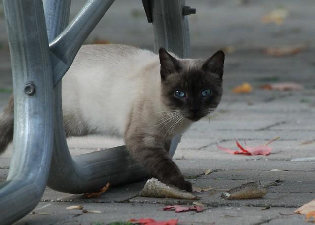 Feral Blue-eyed Cat