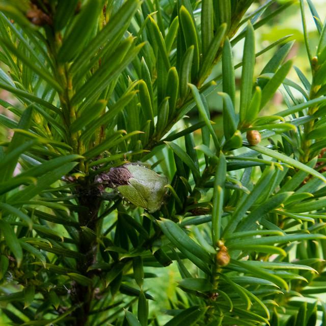 Green shield bug, yew bush