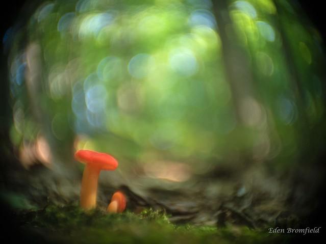 Orange blaze of the Hygrocybes