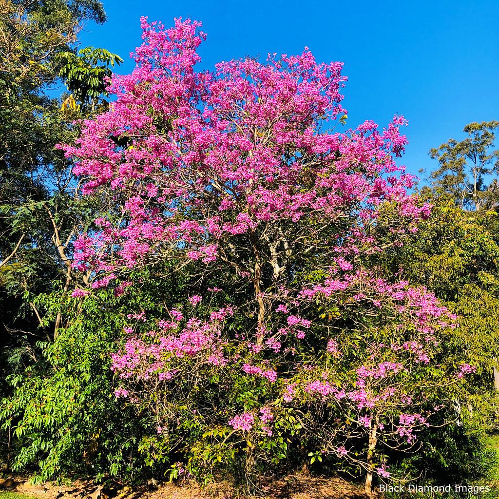 Handroanthus heptaphyllus - Black Lapacho, ipê-roxo, pau- d'arco,