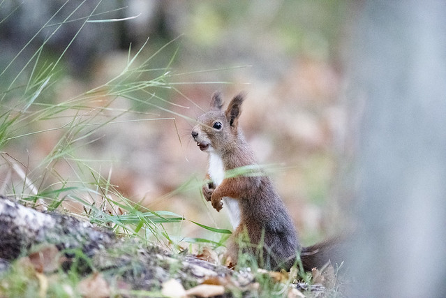Squirrel is surprised, maybe she just saw  some yummy food!