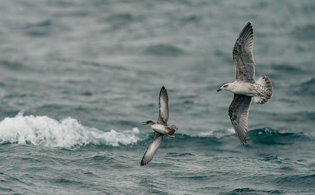 Pardela balear | Puffinus mauretanicus | Baleartic shearwater