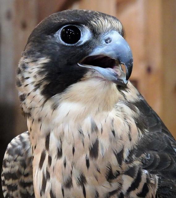 Peregrine Falcon - Portrait
