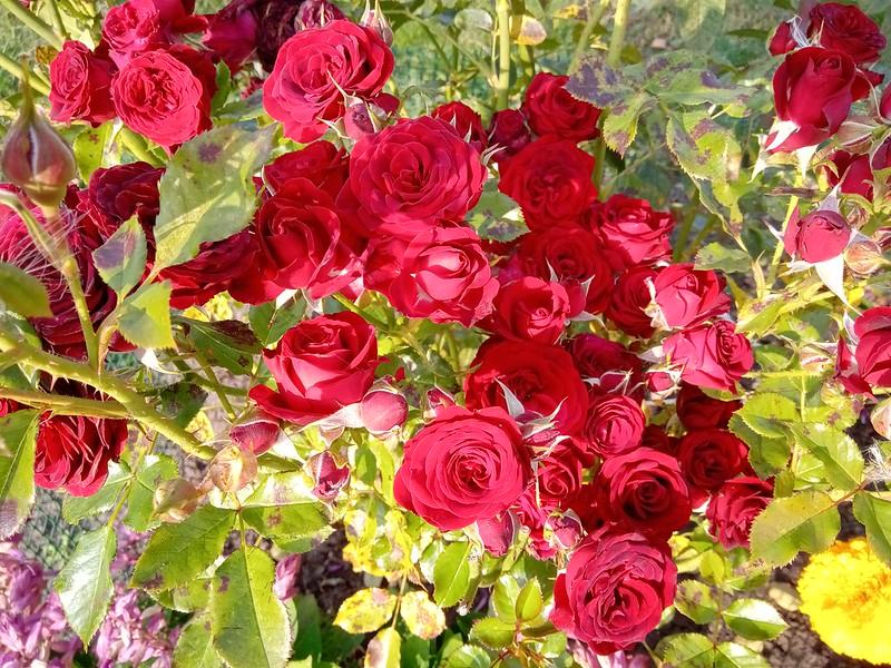 Роза флорибунда европеана