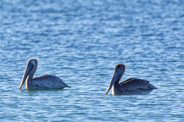 _DSC7085 Brown Pelicans, enjoying a morning swim, Navarre Beach, Florida.