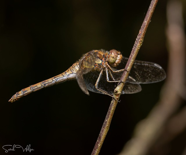 Mature Common Darter Dragonfly